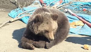 Медведь-шатун запугал Магадан