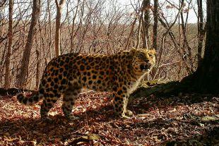 Иенот подвопросом: вУссурийске леопард напал наребенка