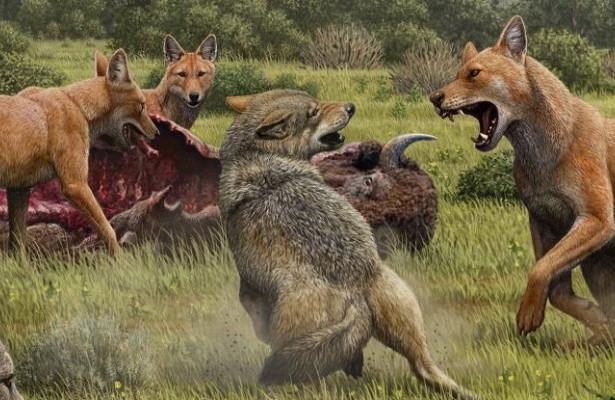 Исчезновение ужасных волков объяснили неспособностью скрещиваться