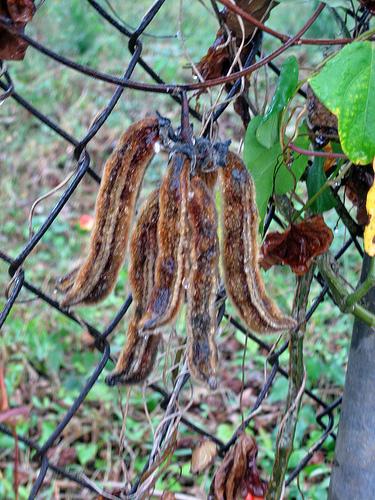 Растение мукуна жгучая для похудения