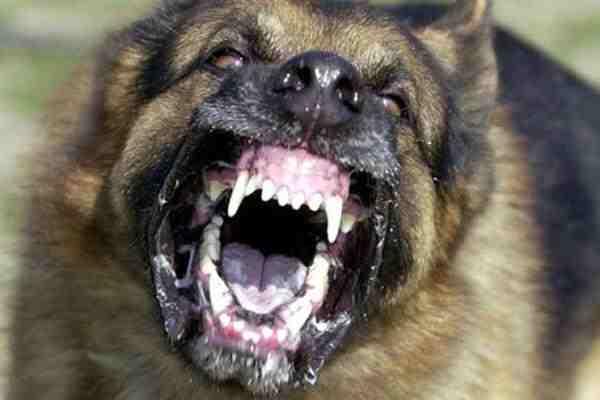 Вэфире НСНначалась пресс-конференция натему «Собаки-убийцы иличеловеческое безразличие?»