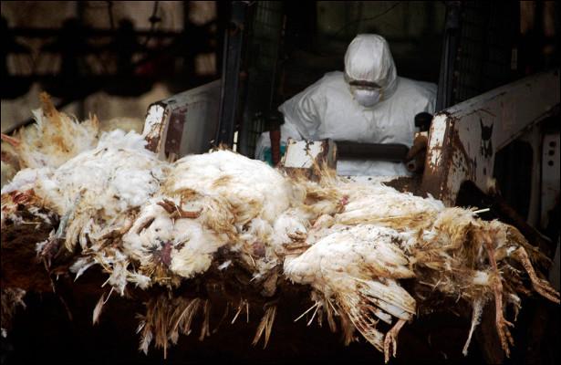 Каквозвращается птичий грипп