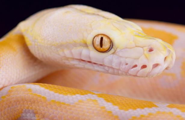 ВИндии нашли редкую змею-альбиноса