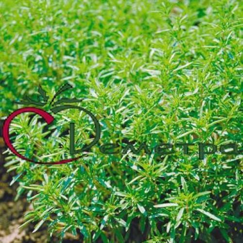 Трава для повышения потенции у мужчин и фото растения