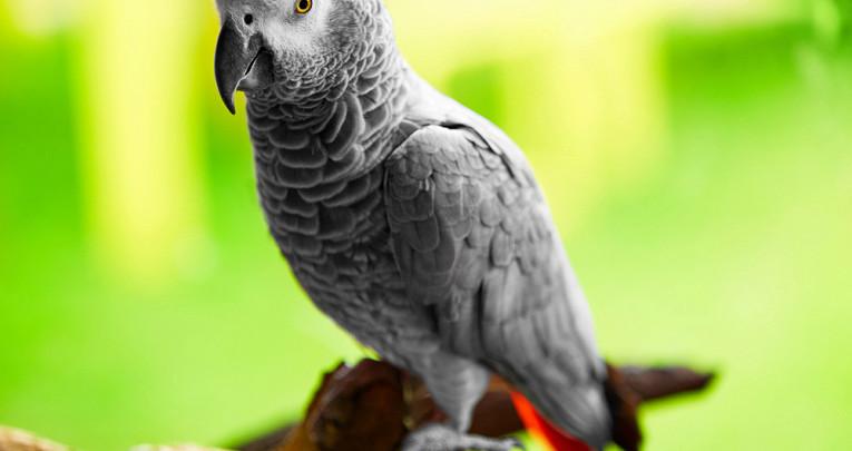 Какипочему разговаривают попугаи