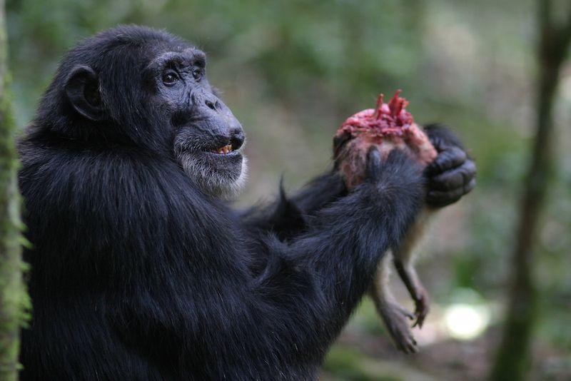 Шимпанзе и член