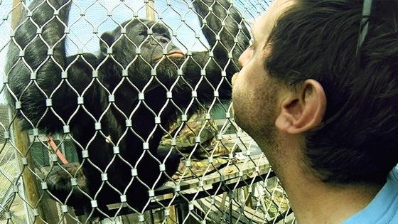 Комплекс шимпанзе (Het Chimpansee Complex)