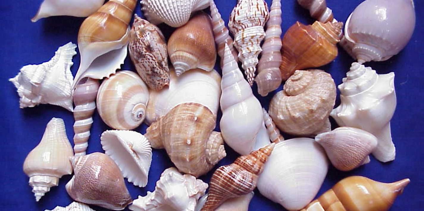 относится видам виды морских раковин с фото идет спад, поэтому