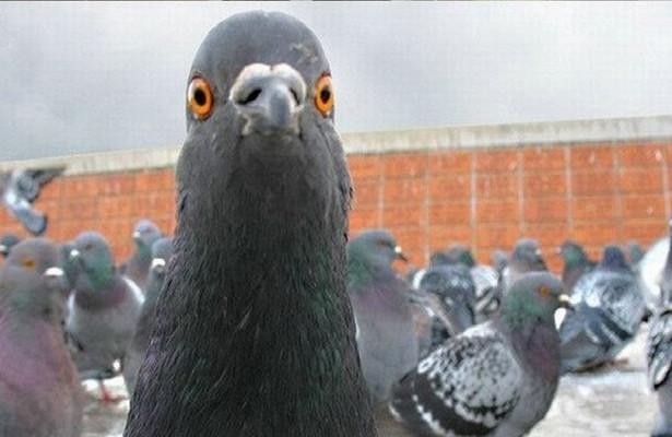 ВНоябрьске флэшмоб голубей напомнил жителям города ПДД
