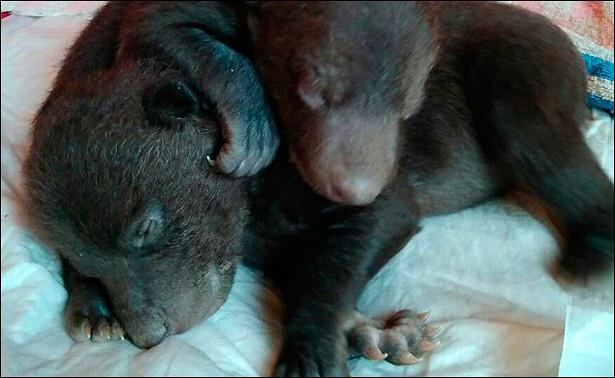 Напомойке вНовой Москве нашли новорожденных медвежат