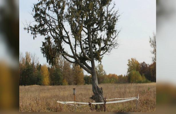 Можжевельник изУдмуртии попал вреестр «Удивительных деревьев России»