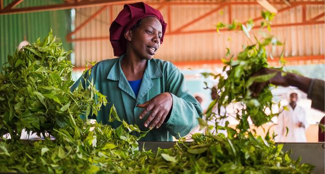 Как делают чай в Кении